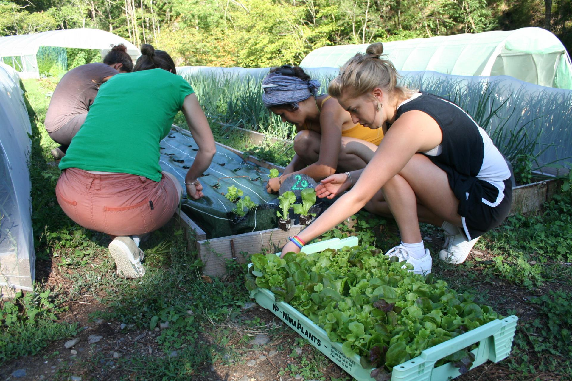 Plantation des salades